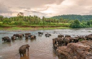 Swimming Elephants