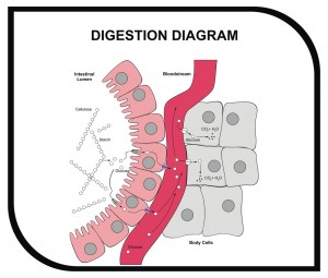 VECTOR - Digestion Diagram - Abdominal Tissue - Medical and Educ