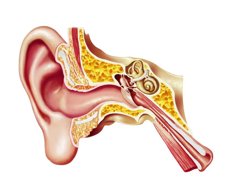 Music stimulates emotions through specific brain circuits human ear cutaway diagram ccuart Images