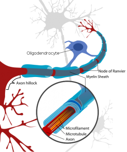 PD   500px-Neuron_with_oligodendrocyte_and_myelin_sheath-2