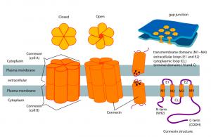 PD   687px-Connexon_and_connexin_structure