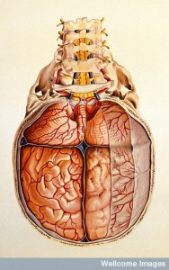 V0018379EL Brain: base and meninges. Colour lithograph by Brocades Grea