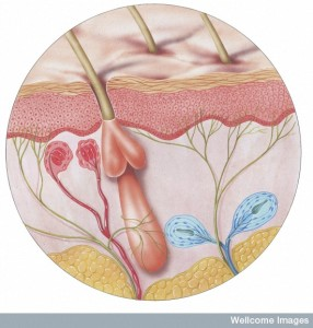N0027682 Diagram of skin