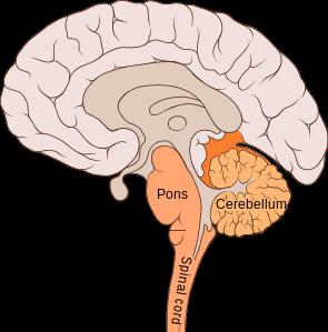Fvasconcellos WIK   Medulla pons 295px-Brain_bulbar_region