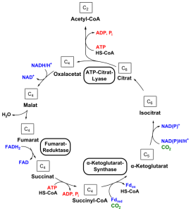 PD Citric acid cycle
