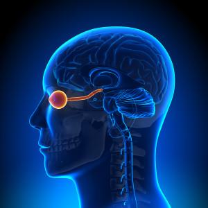 Brain Anatomy - Optical Nerve / Eye