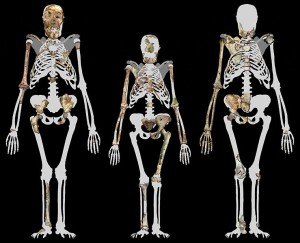 Profberger  WIK  739px-Australopithecus_sediba_and_Lucy