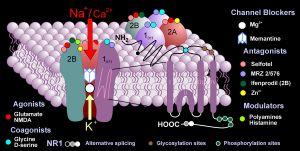 NMDA subunits in membrane