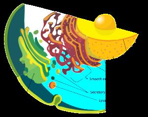 PD   Endomembrane_system_diagram_en