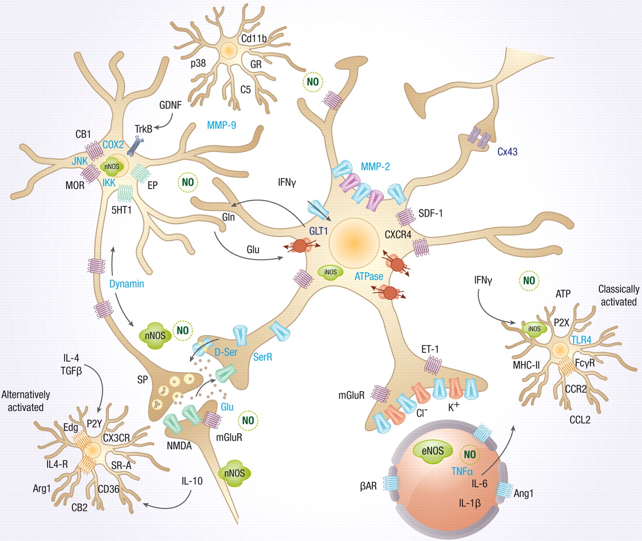 neuronal communication Synapse, also called neuronal junction, the site of transmission of electric nerve   electric synapses allow direct communications between neurons whose.