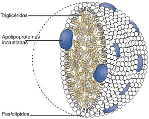 Miguelferig wik  Chylomicrons_Contain_Triglycerides_Cholesterol_Molecules_and_Other_Lipids_gl