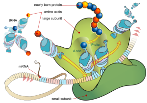 PD  FEATURE   Ribosome_mRNA_translation_en