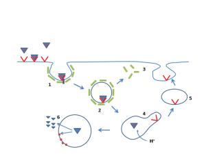 PD LDL receptor