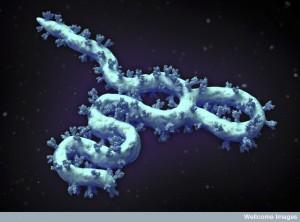 B0009935 Ebola virus structure, illustration