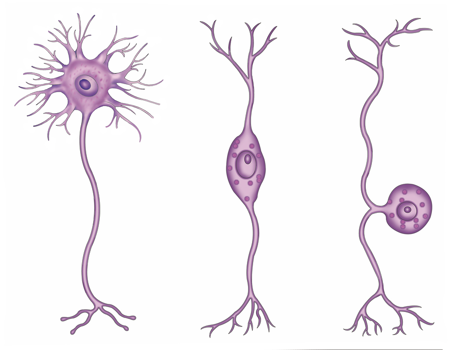 How Many Different Kinds of Neurons Are There