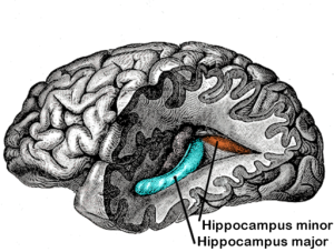512px-Gray739-emphasizing-hippocampus-minor