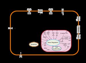 Cybertory wik   Signal_transduction_pathways