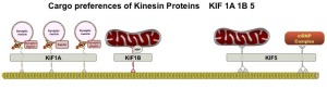 Mitochondria Kinesian snp CROP