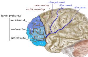 Pancrat wik Prefrontal1