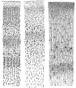 PD   Cajal_cortex_drawings
