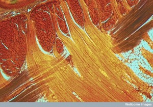 B0008811 Striated muscle bundles, cat's tongue