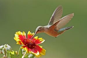 bigstock-Hummingbird-Femal-44182303