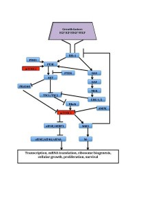 Lybbar12 wik   MTOR_signal_pathway