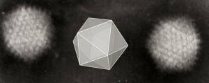 Splette wik    Icosahedral_Adenoviruses