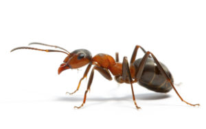 Ant individual