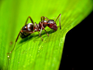 Lukeelstad wik  Ant_on_leaf