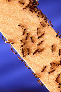 PD     Fire_ants
