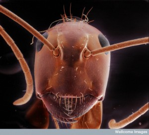 B0009697 Red carpenter ant (Camponotus species), SEM and LM composite