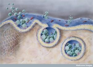 N0019830 Endocytosis