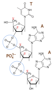 Phosphodiester bond  From DMacks