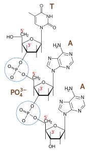 Phosphodiester bond  From DMacks