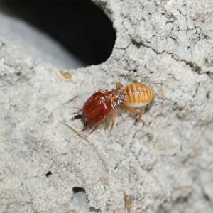 Edgars2007  wik   Macro_Termite_Soldier