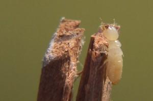 Esculapio  wik -Workertermite1