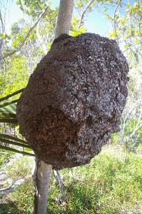 Eug  wik   Termite-nest-Tulum-Mexico