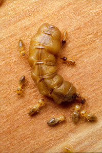 File Upload Bot   Termite Queen huge