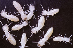 PD    Termites_marked_with_traceable_protiens