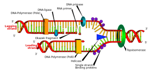 PD  helicase   DNA_replication_en