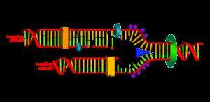 PD  helicase   DNA_replication_en