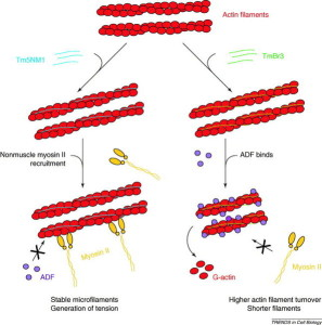 Szokolai wik   tropomyosin-directed_regulation_of_actin_filament_function