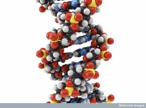 B0007707 Molecular model: DNA