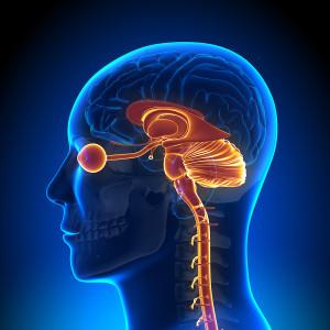 Brain Anatomy - Internal parts