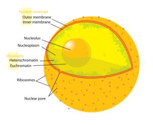 PD    Diagram_human_cell_nucleus
