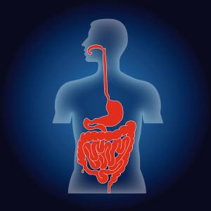 Human torso as scheme of human alimentary system, illustration