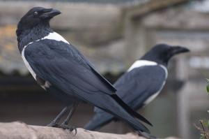 (Magnus Manske) wik  Corvus_albus_-Hamerton_Zoo,_Cambridgeshire,_England_-two-8a