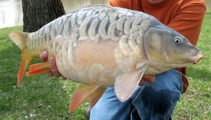 Nesnad  fishing   Rectangle_the_mirror_carp_at_12lb_8oz