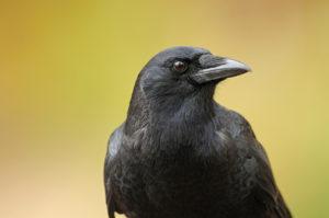 bigstock-American crow 24582695